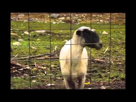 Paul McCartney and Goats - The Frog Goat Chorus (goat edition)