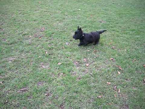 Basil the Scottish Terrier Dog, Bobby the Welsh Terrier in Clissold Park