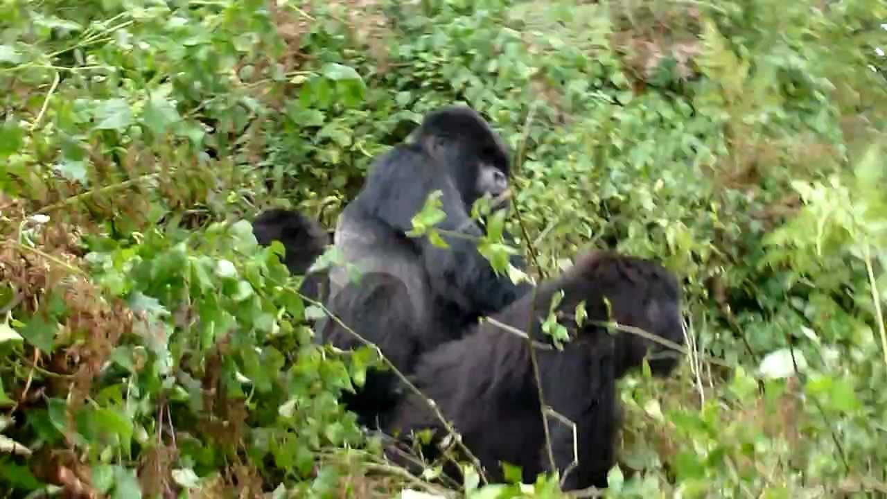 Can Big gorilla haveing sex other variant