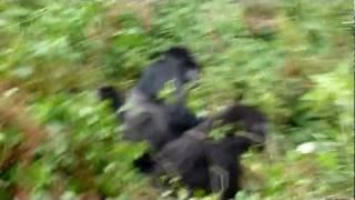 Gorillas in the Midst (of having sex)