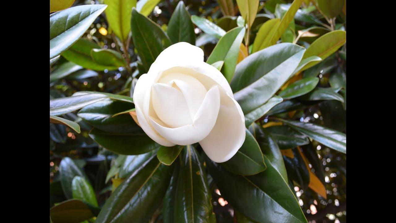 Magnolia comun magnolia grandiflora arboles y arbustos - Magnolia grandiflora cuidados ...