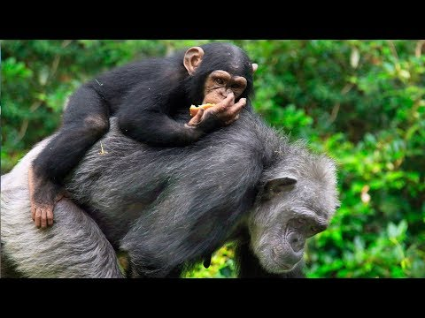 Caught on Camera: Chimp Family Dynamics