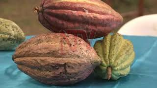 COCOA SECTOR: Farmers chase value in chocolate processing
