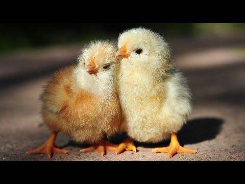 Chicken Song - [Geco Remix]