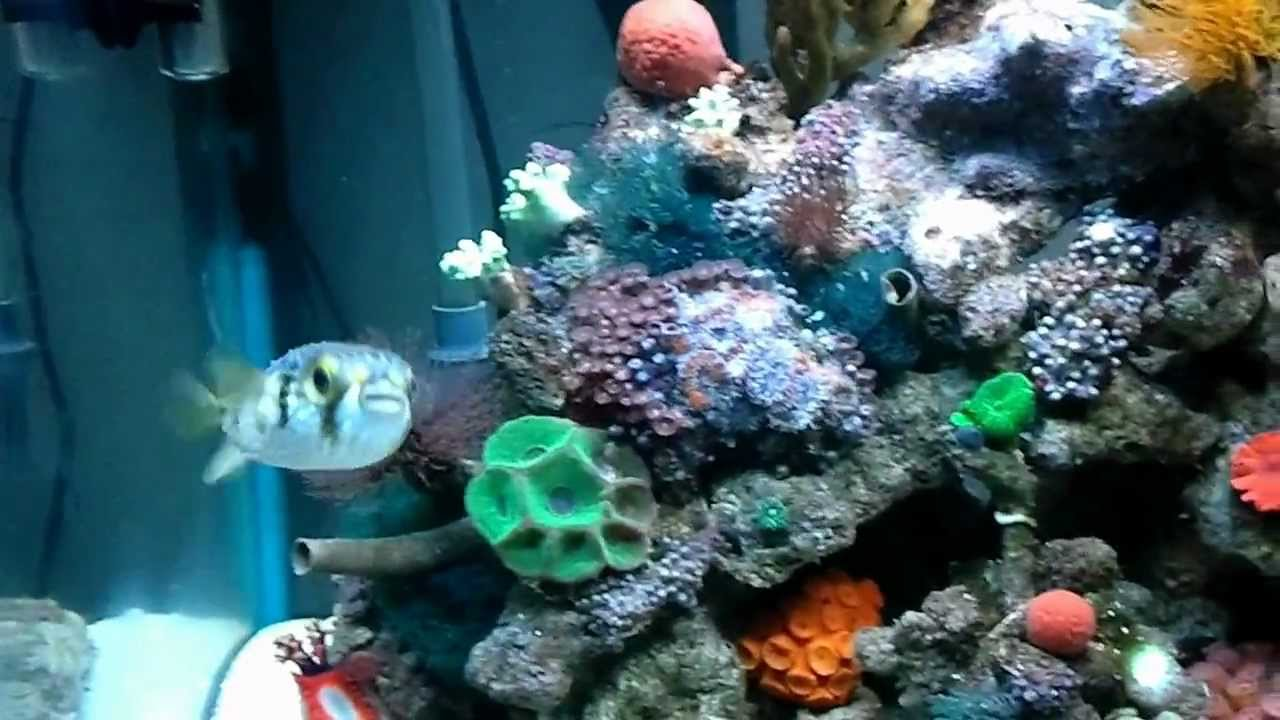 Reef Safe Puffer Youtube
