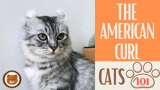 Cats 101  AMERICAN CURL  Top Cat Facts about the AMERICAN CURL