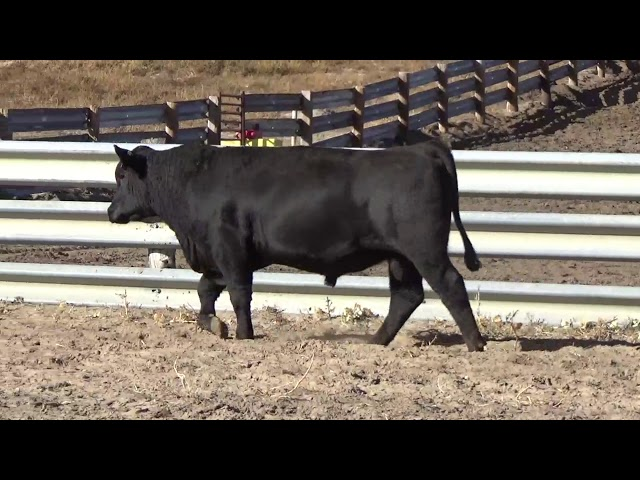 Connealy Angus Lot 91