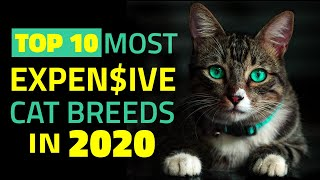 Top 10 Most Expensive Cats in 2020 [ Expensive Felines Around the World ]   The Top 10 Picks
