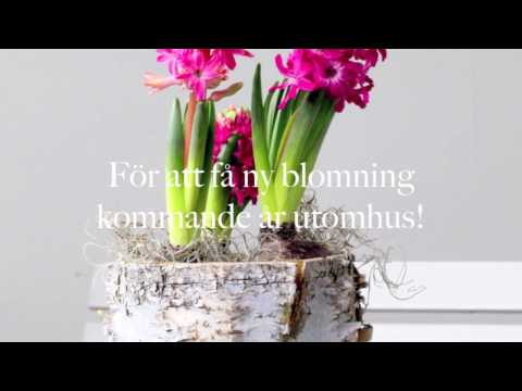 Hyacinter - spara lökarna och få dem att blomma igen !