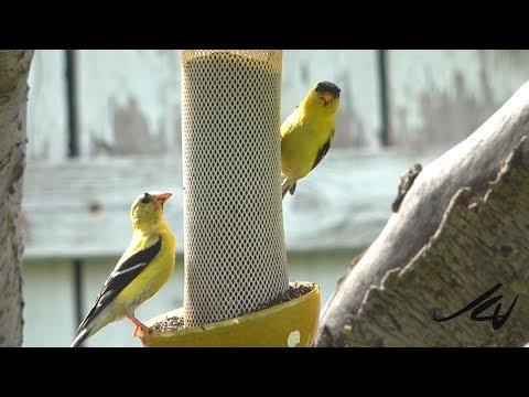 Birds of British Columbia (Birding)  in the Okanagan - YouTube
