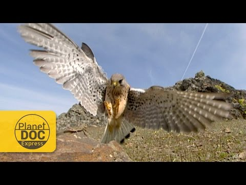 Kestrel Hunting | Planet Doc Express