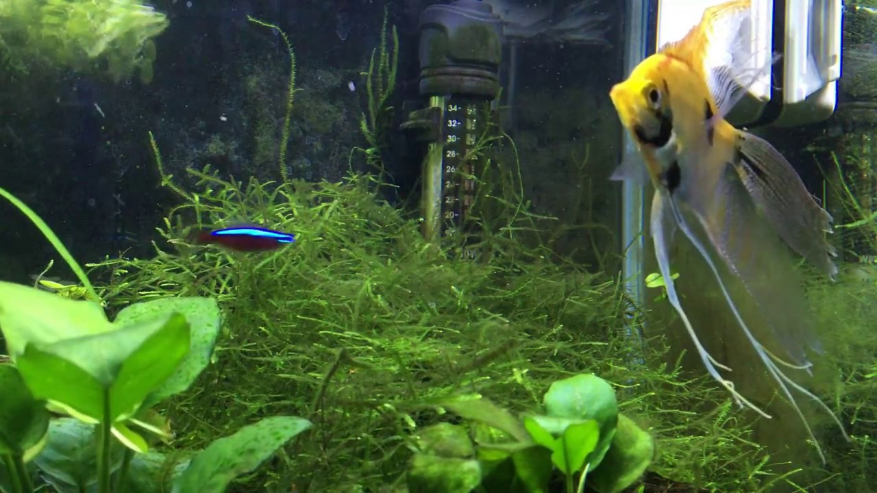 How To: sexing guppies