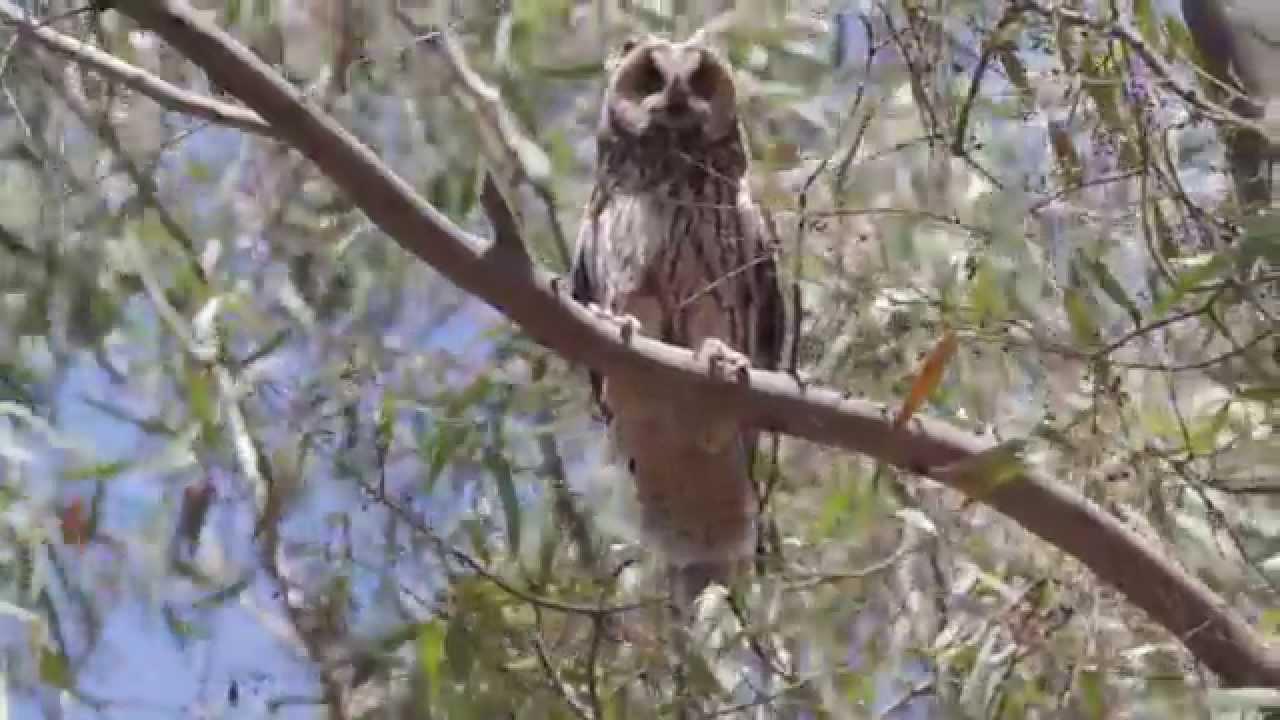 Long-eared Owl - Asio otus !