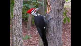 Evolution or Design ? The Woodpecker