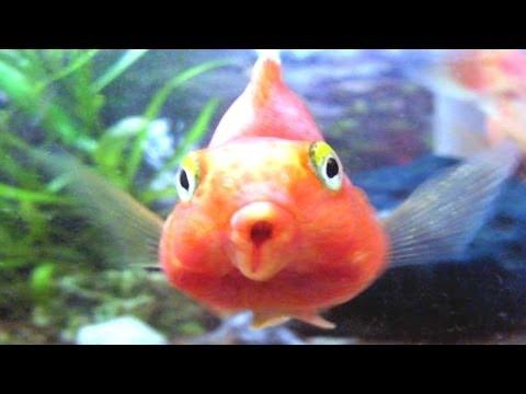 Blood Parrot Fish Tank (Cichlid)