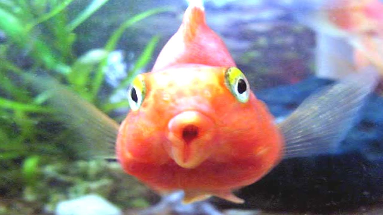 Blood parrot fish tank cichlid youtube for Parrot fish freshwater