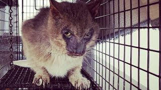 Abandoned Werewolf Cat Rescued from Life of Pain