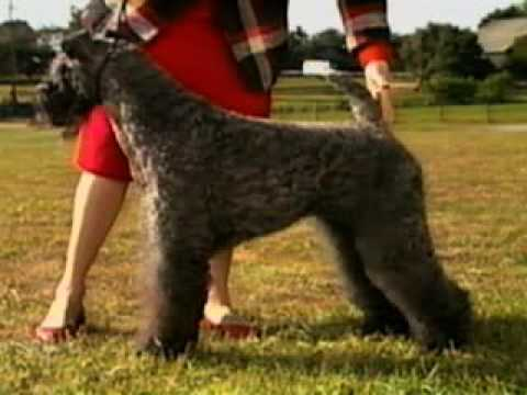 Kerry Blue Terrier part 1