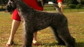 Adoptii caini de rasa Kerry Blue Terrier http://www.adoptiicaini.ro...