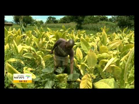 More farmers in Zim turning to tobacco farming