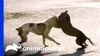 A Dog Fight Leaves Joe in Shock | Pit Bulls and Parolees