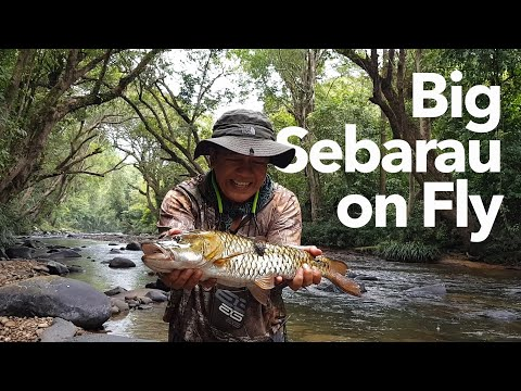Fly Fishing Mahseer And Huge Hampala Barb (Jungle Perch) In Malaysia