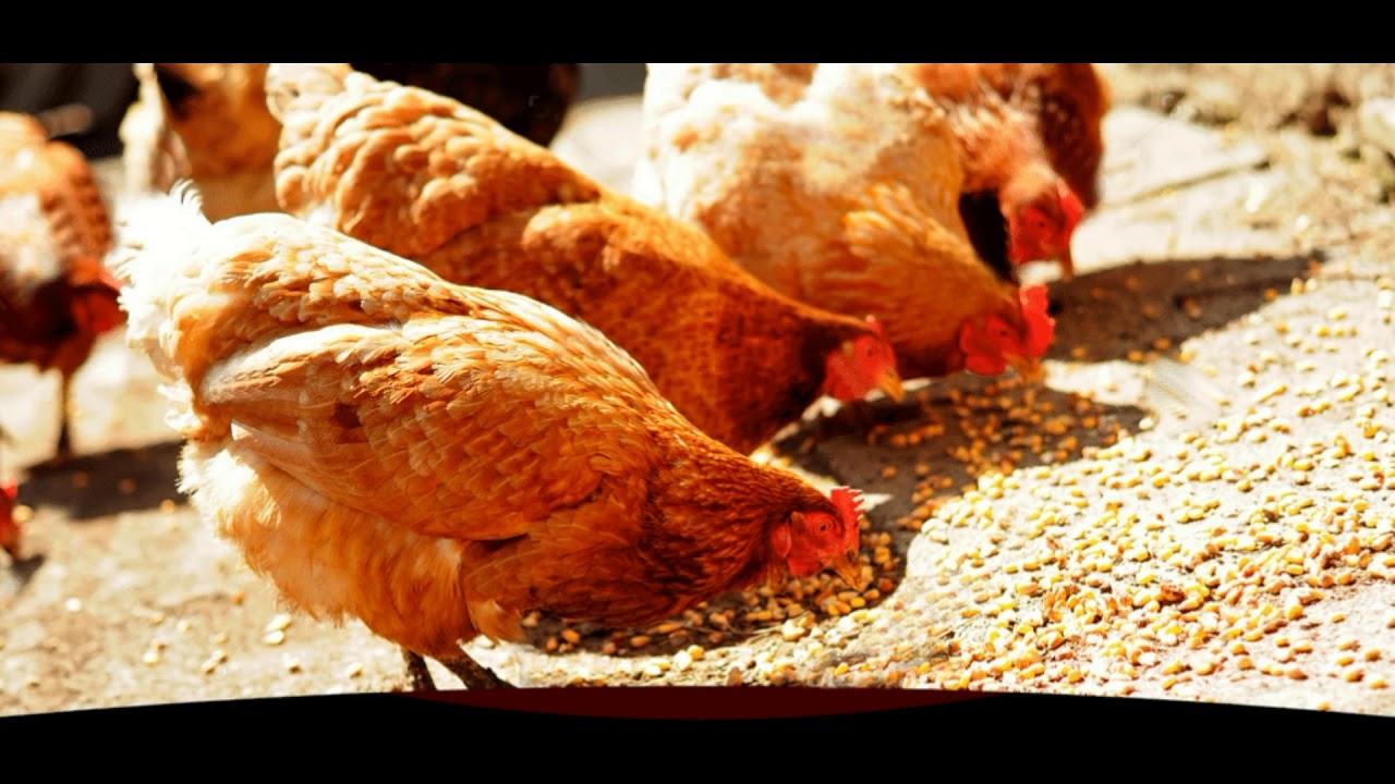 Como criar gallinas ponedoras en casa doovi for Como criar peces ornamentales en casa