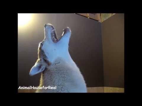 Siberian Husky Howling Compilation