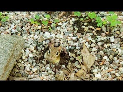 baby-chipmunk-nest-is-built-right-beside-my-front-door