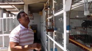 CRIAÇÃO DO SOMBRA 2012 FILHOTES PEQUENO, NOS OVOS E ADUTOS
