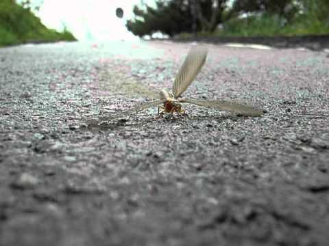 大水蛾--白蟻婚飛記 - YouTube