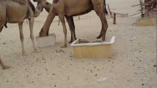 Abu Yusuf Wafra Farms - I