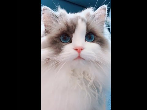 Cute Beautiful Ragdoll Cat outward But Clumsy Fool Inside What End You'll See 布偶貓表面可愛實際小笨蛋  Cat Vlog