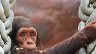 Водка и обезьяна