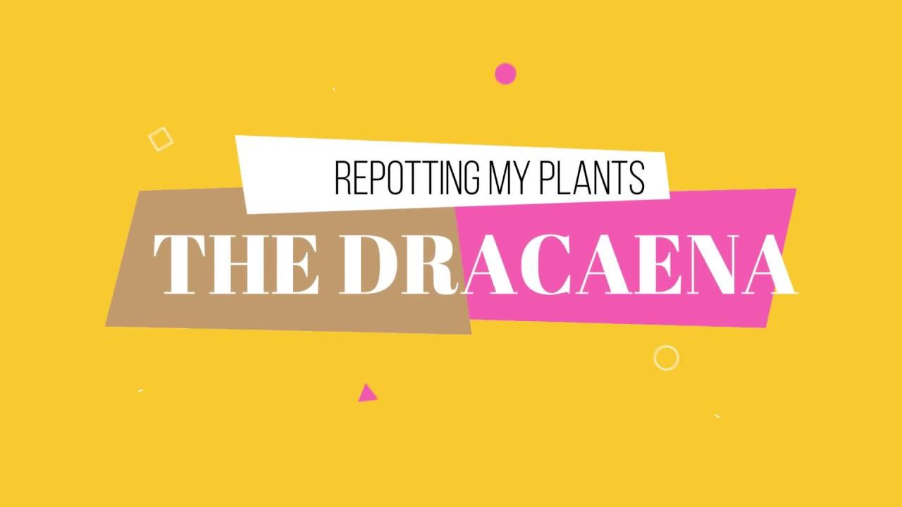 REPOTTING MY HOUSE PLANTS DRACAENA JANET CRAIG YouTube