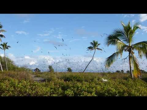 Sooty terns on Johnston Atoll 2