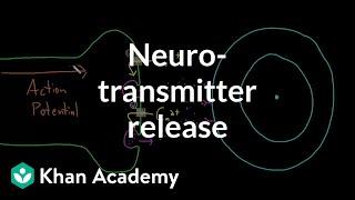 Neurotransmitter release | Nervous system physiology | NCLEX-RN | Khan Academy