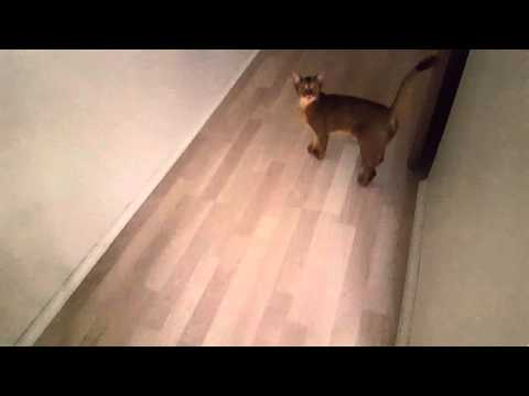 Abyssinian cat is talking.