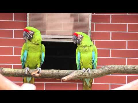 Ara zelený (Ara ambiguus) / Great Green Macaw or Buffon's Macaw (Ara ambiguus)
