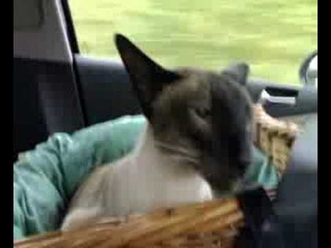 Chico the Siamese cat traveling by car