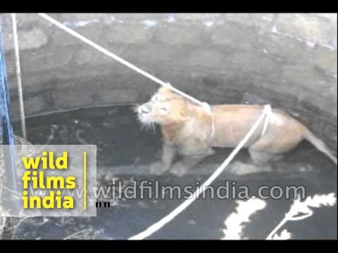 Endangered Asiatic Lion rescued from well in India en streaming