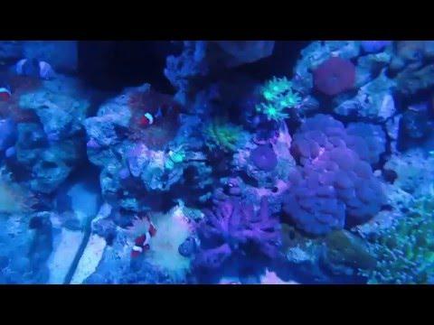 Bubble Tip Anemone Hosting True Percula Clownfish