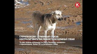 КРТВ. Стерилизация – гуманный способ контролировать численность бездомных собак