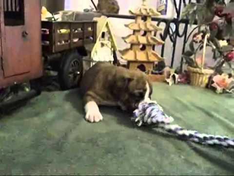 AKC Red Brindle And White English Bulldog Markee