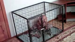 Один дома, приучаем щенка 1(Перед тем как оставить щенка одного, его необходимо хорошенько выгулять и поиграть с ним, а так же накормить..., 2015-01-26T05:23:24.000Z)