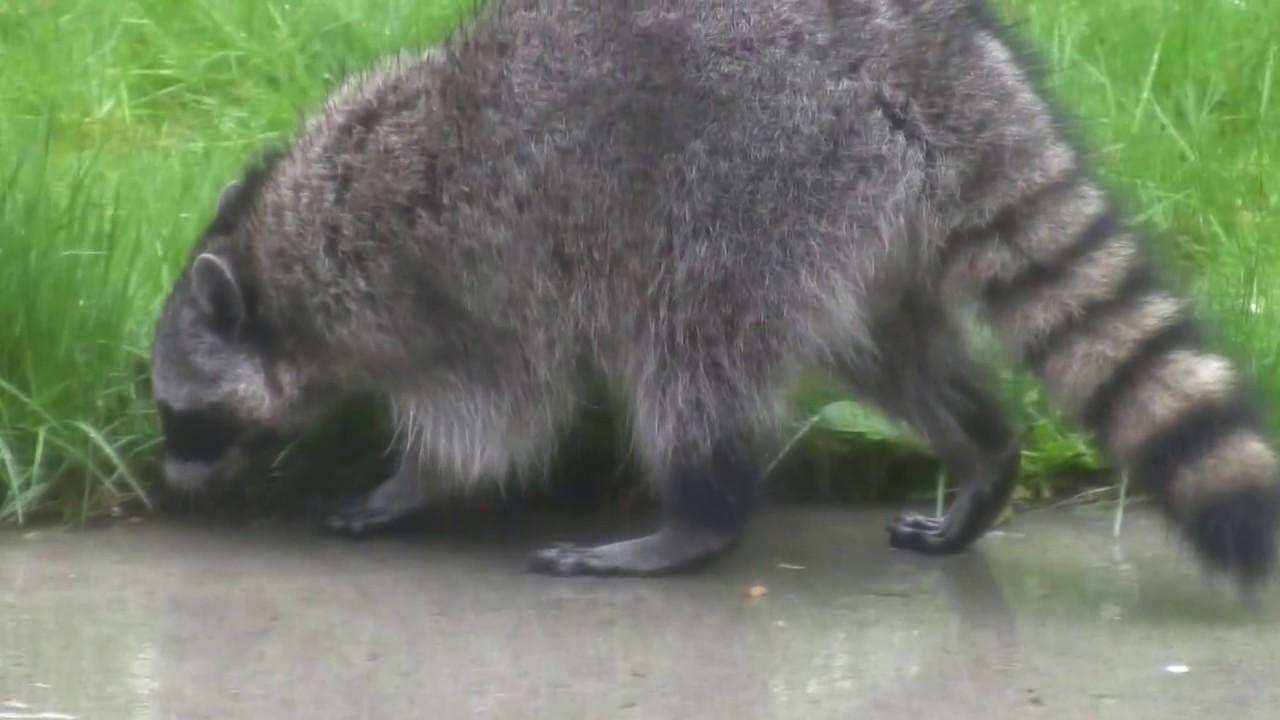 Raccoon in Backyard - YouTube