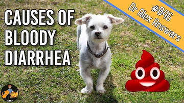 Why is there Blood in Your Dog's Stool? - Dog Health Vet Advice