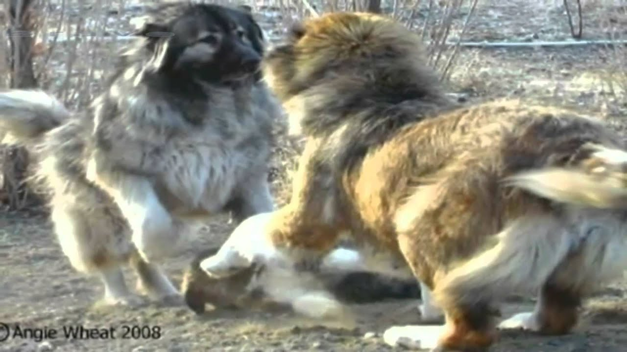 caucasian mountain dog russian prison