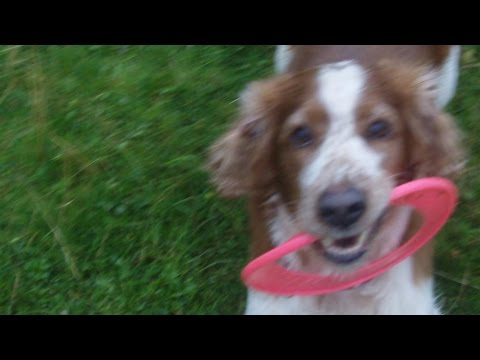 Welsh Springer Spaniel Finlay  with his ring. x