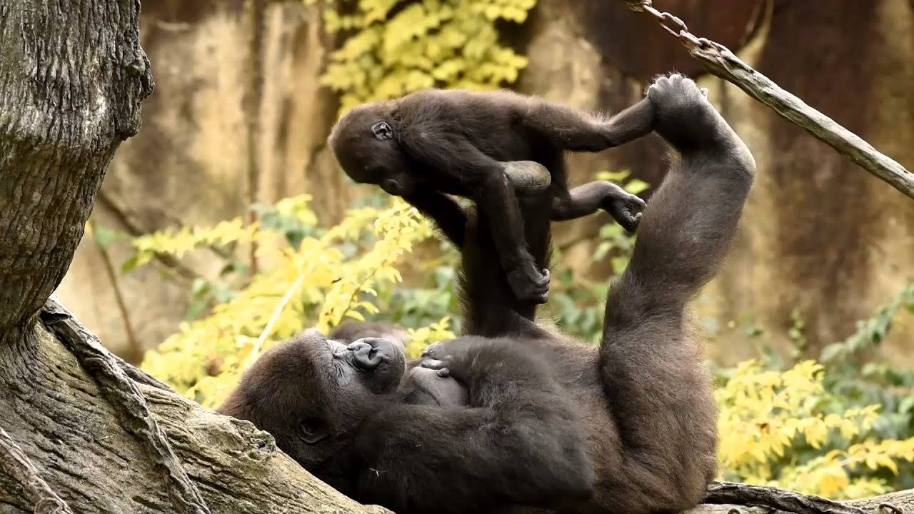 WATCH: Baby Gorilla Plays Adorable Game of Peek-a-Boo with Toddler WATCH: Baby Gorilla Plays Adorable Game of Peek-a-Boo with Toddler new foto